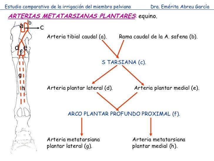 Estudio comparativo de la irrigación del miembro pelviano         Dra. Emérita Abreu García ARTERIAS METATARSIANAS PLANTAR...