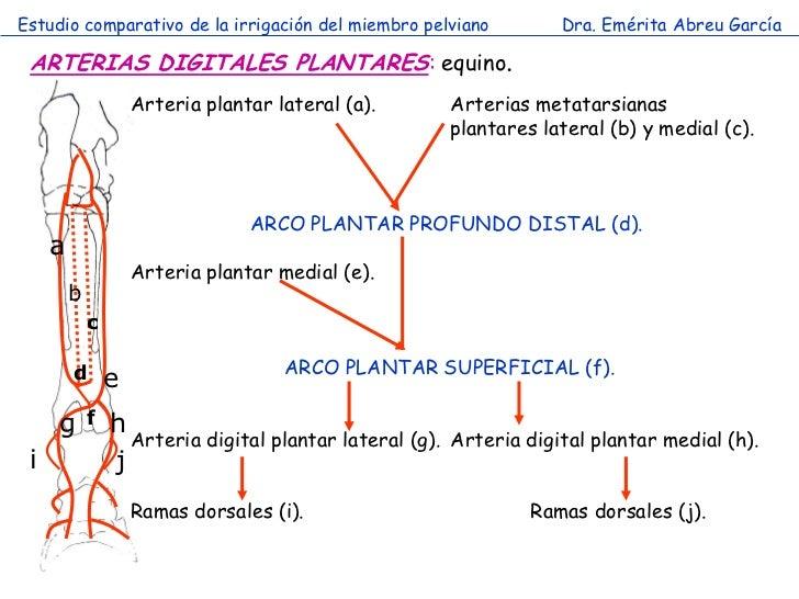 Estudio comparativo de la irrigación del miembro pelviano             Dra. Emérita Abreu García ARTERIAS DIGITALES PLANTAR...