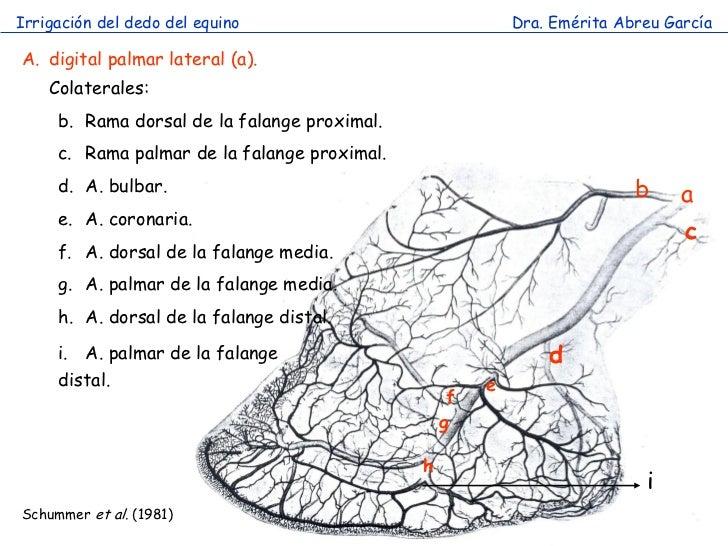 Irrigación del dedo del equino                             Dra. Emérita Abreu GarcíaA. digital palmar lateral (a).    Cola...