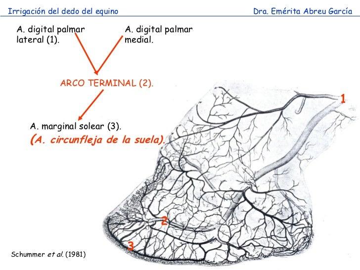 Irrigación del dedo del equino                       Dra. Emérita Abreu García  A. digital palmar              A. digital ...
