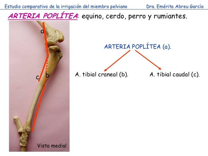 Estudio comparativo de la irrigación del miembro pelviano   Dra. Emérita Abreu García ARTERIA POPLÍTEA: equino, cerdo, per...