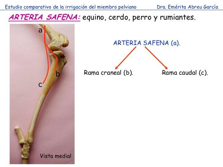 Estudio comparativo de la irrigación del miembro pelviano   Dra. Emérita Abreu García ARTERIA SAFENA: equino, cerdo, perro...