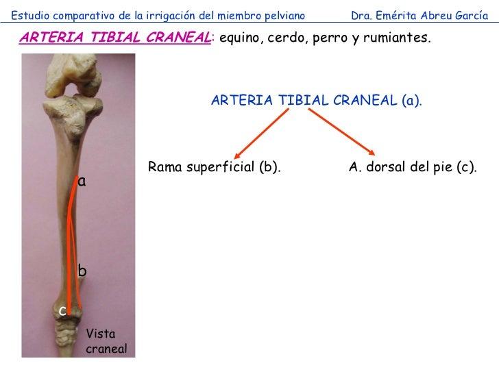 Estudio comparativo de la irrigación del miembro pelviano   Dra. Emérita Abreu García ARTERIA TIBIAL CRANEAL: equino, cerd...
