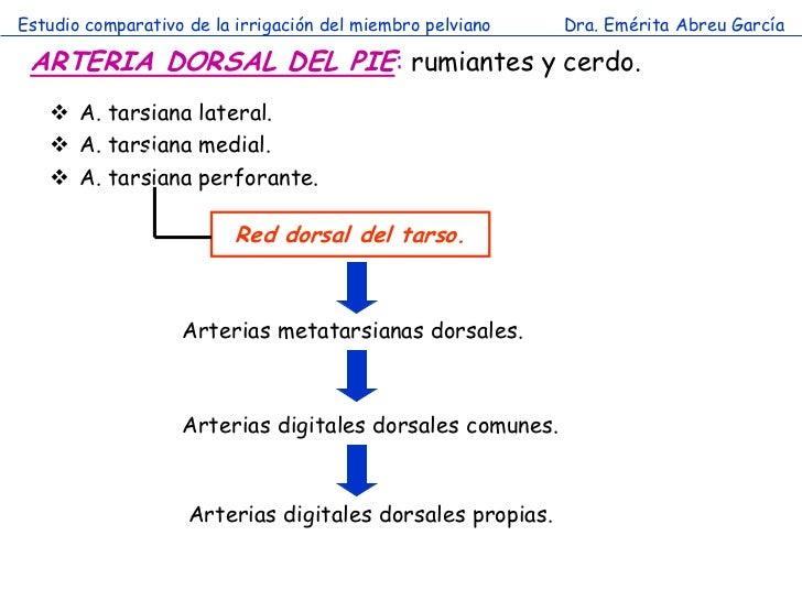 Estudio comparativo de la irrigación del miembro pelviano   Dra. Emérita Abreu García ARTERIA DORSAL DEL PIE: rumiantes y ...