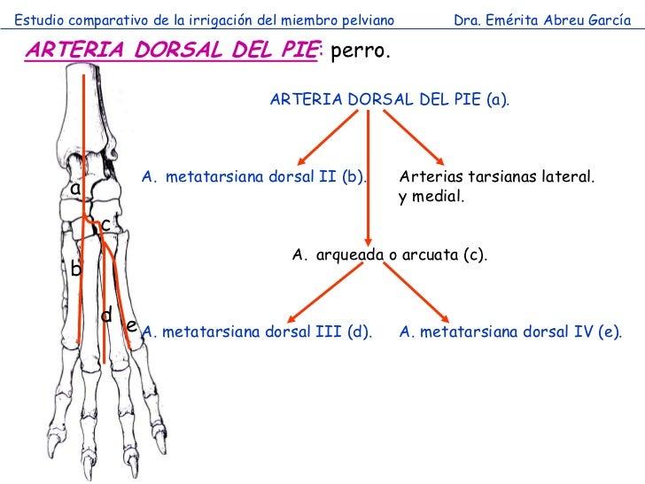 Estudio comparativo de la irrigación del miembro pelviano          Dra. Emérita Abreu García ARTERIA DORSAL DEL PIE: perro...