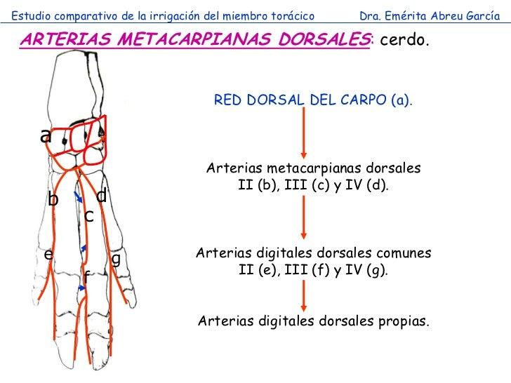 Estudio comparativo de la irrigación del miembro torácico   Dra. Emérita Abreu García ARTERIAS METACARPIANAS DORSALES: cer...