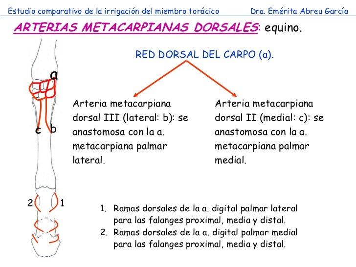 Estudio comparativo de la irrigación del miembro torácico      Dra. Emérita Abreu García ARTERIAS METACARPIANAS DORSALES: ...