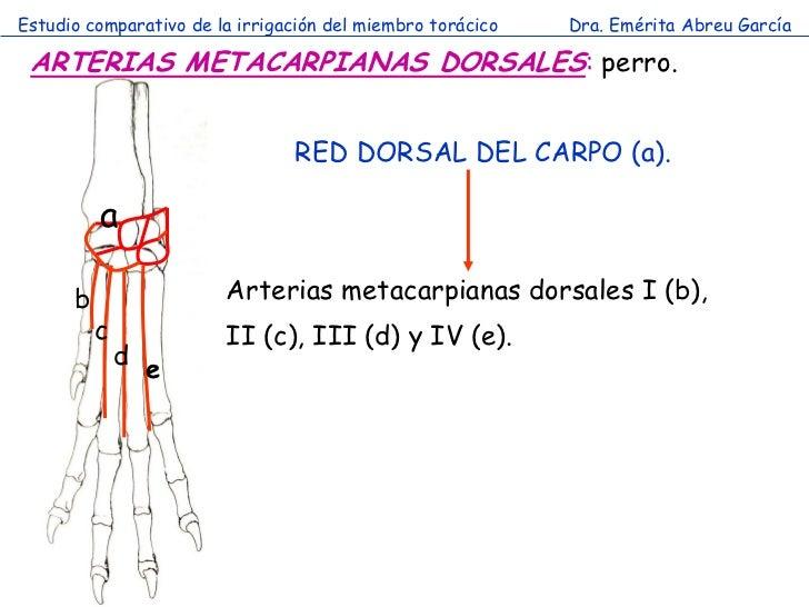 Estudio comparativo de la irrigación del miembro torácico   Dra. Emérita Abreu García ARTERIAS METACARPIANAS DORSALES: per...