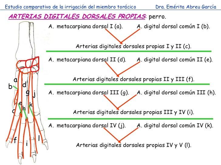 Estudio comparativo de la irrigación del miembro torácico          Dra. Emérita Abreu García ARTERIAS DIGITALES DORSALES P...