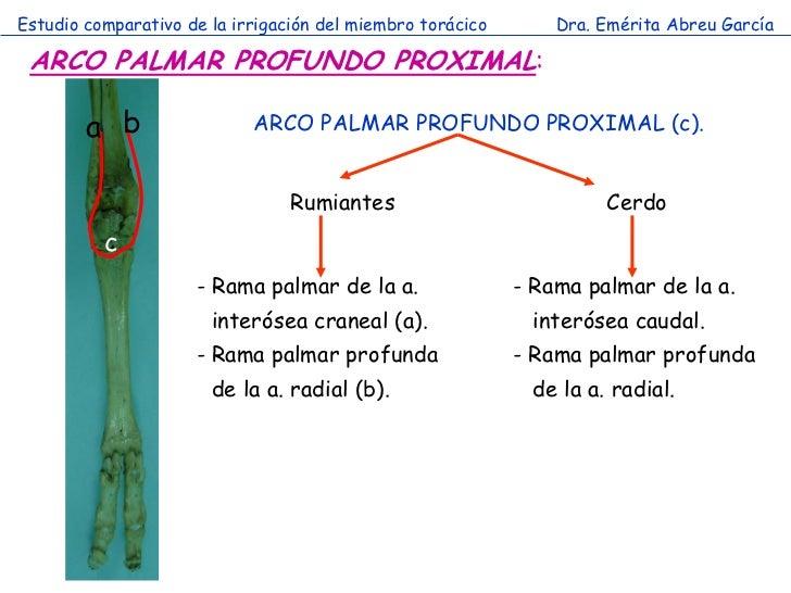 Estudio comparativo de la irrigación del miembro torácico       Dra. Emérita Abreu García ARCO PALMAR PROFUNDO PROXIMAL:  ...