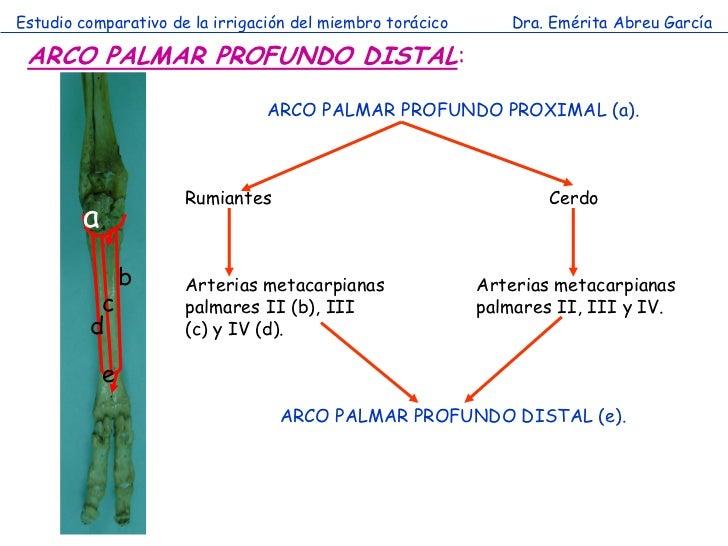 Estudio comparativo de la irrigación del miembro torácico      Dra. Emérita Abreu García ARCO PALMAR PROFUNDO DISTAL:     ...
