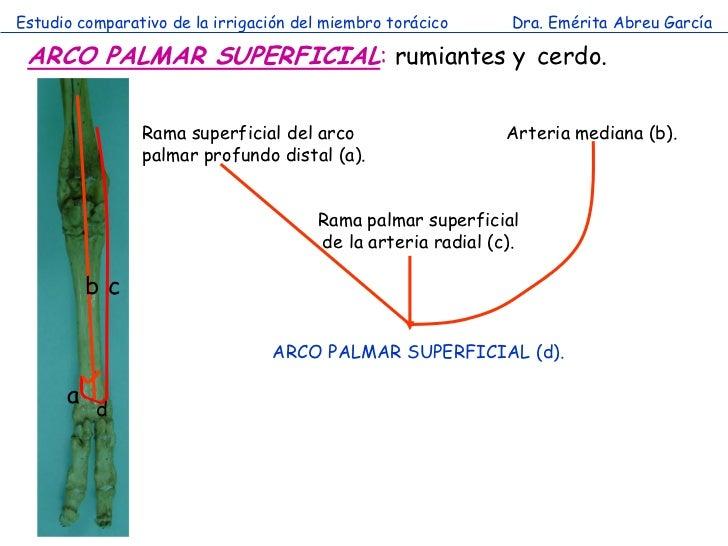 Estudio comparativo de la irrigación del miembro torácico      Dra. Emérita Abreu García ARCO PALMAR SUPERFICIAL: rumiante...