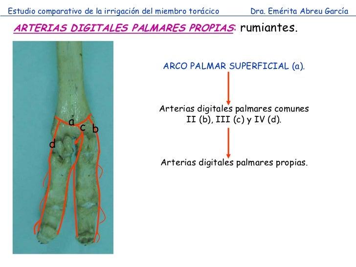 Estudio comparativo de la irrigación del miembro torácico     Dra. Emérita Abreu García ARTERIAS DIGITALES PALMARES PROPIA...