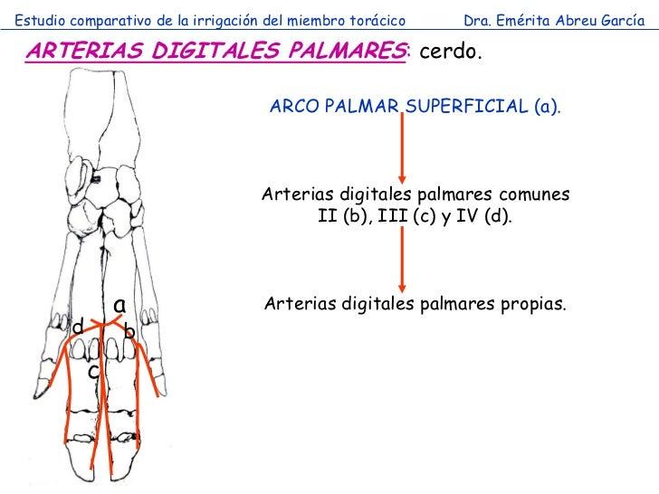 Estudio comparativo de la irrigación del miembro torácico   Dra. Emérita Abreu García ARTERIAS DIGITALES PALMARES: cerdo. ...