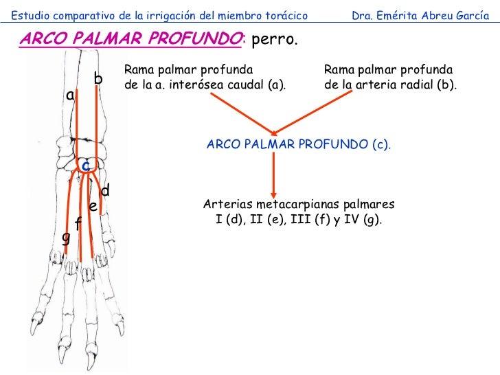 Estudio comparativo de la irrigación del miembro torácico        Dra. Emérita Abreu García ARCO PALMAR PROFUNDO: perro.   ...