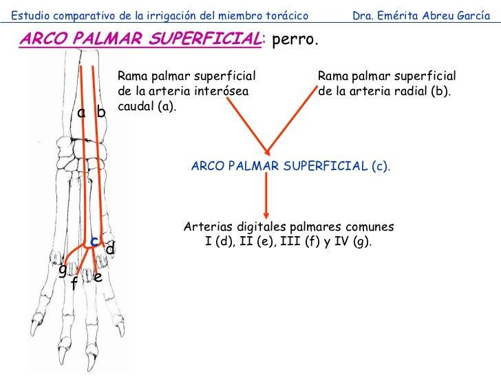 Estudio comparativo de la irrigación del miembro torácico         Dra. Emérita Abreu García ARCO PALMAR SUPERFICIAL: perro...