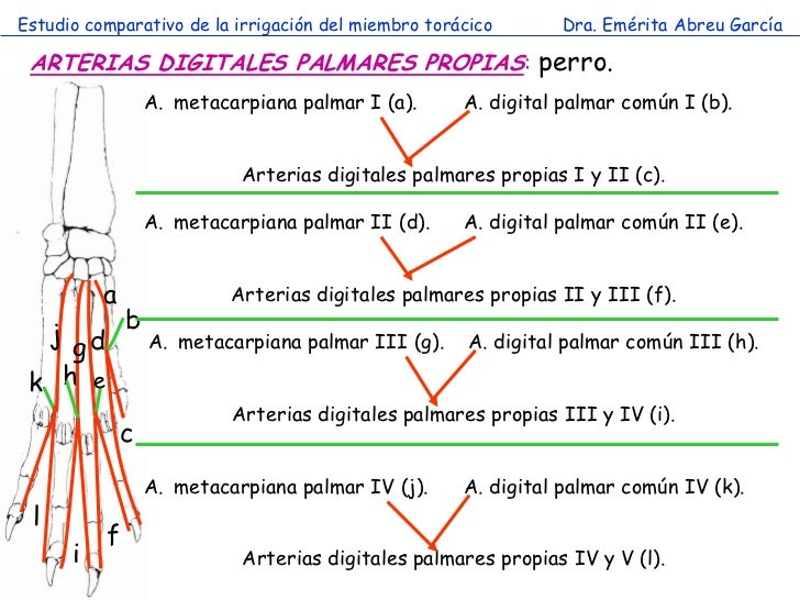 Estudio comparativo de la irrigación del miembro torácico       Dra. Emérita Abreu García ARTERIAS DIGITALES PALMARES PROP...