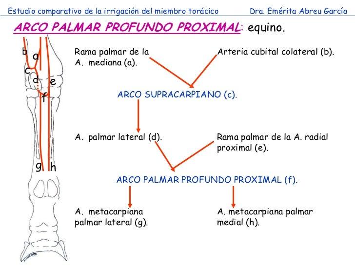 Estudio comparativo de la irrigación del miembro torácico       Dra. Emérita Abreu García ARCO PALMAR PROFUNDO PROXIMAL: e...