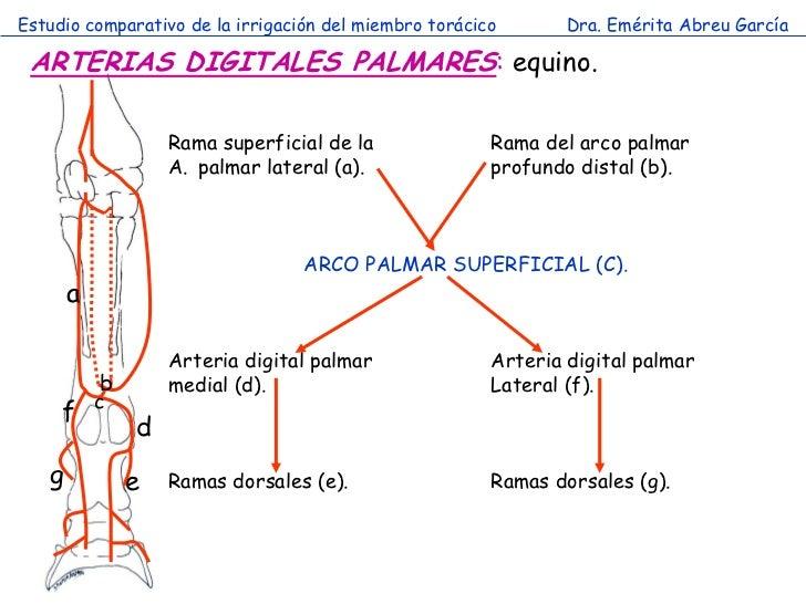 Estudio comparativo de la irrigación del miembro torácico       Dra. Emérita Abreu García ARTERIAS DIGITALES PALMARES: equ...