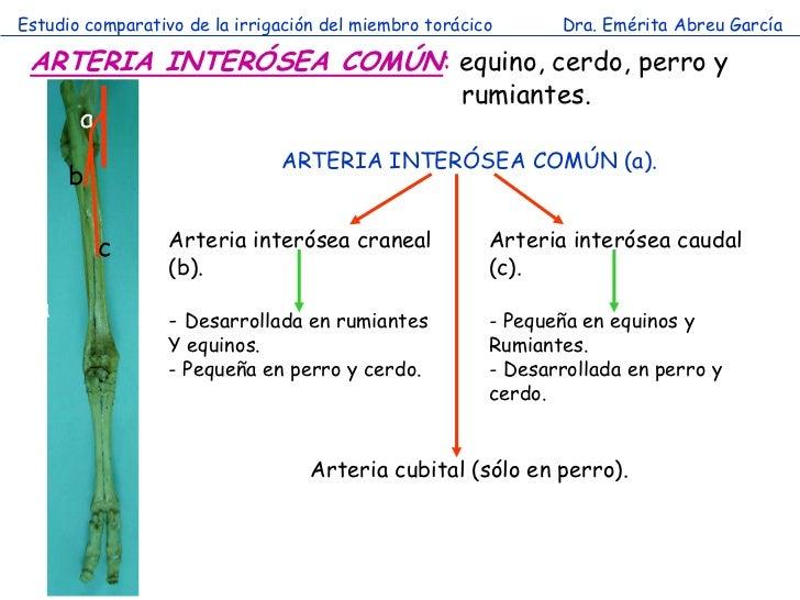 Estudio comparativo de la irrigación del miembro torácico      Dra. Emérita Abreu García ARTERIA INTERÓSEA COMÚN: equino, ...