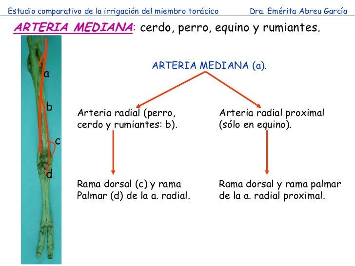 Estudio comparativo de la irrigación del miembro torácico         Dra. Emérita Abreu García ARTERIA MEDIANA: cerdo, perro,...