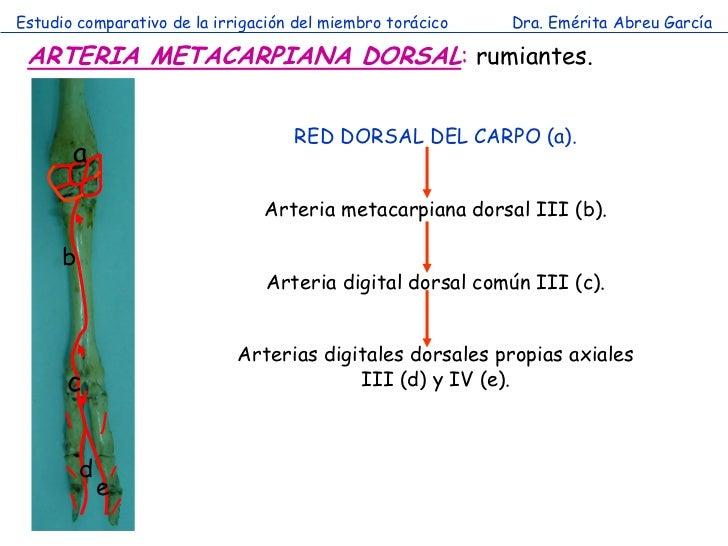Estudio comparativo de la irrigación del miembro torácico   Dra. Emérita Abreu García ARTERIA METACARPIANA DORSAL: rumiant...