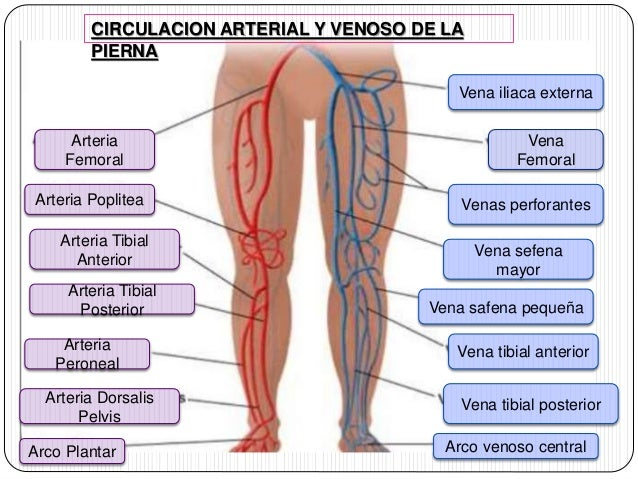Anatomia de las arterias