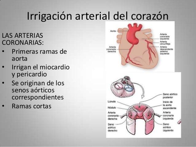 Irrigación arterial del corazón LAS ARTERIAS CORONARIAS: • Primeras ramas de aorta • Irrigan el miocardio y pericardio • S...
