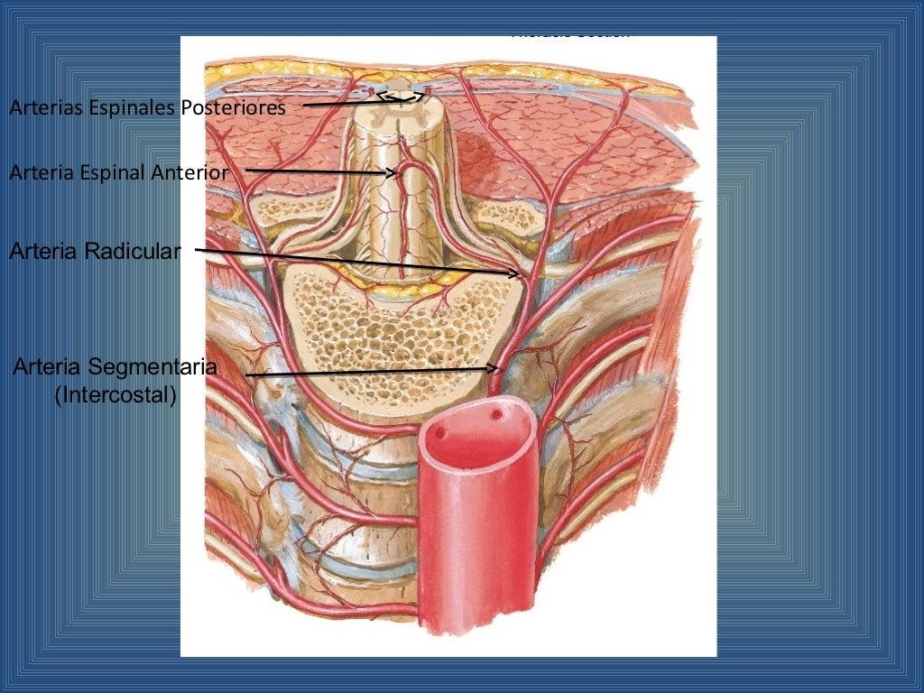 Irrigación de la médula espinal