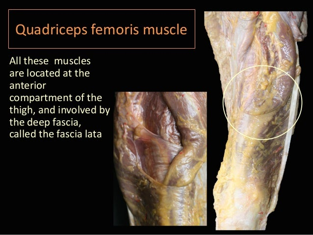 Isabel Miguel Quadriceps Muscle Anatomy Cadaver Study Prp