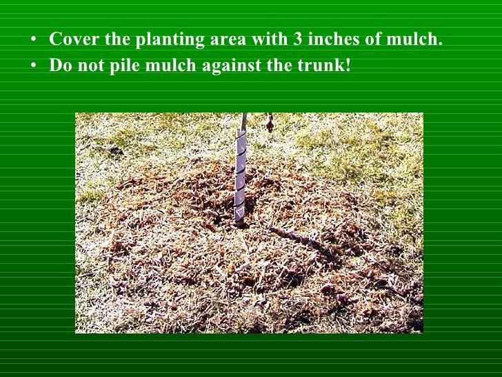 <ul><li>Cover the planting area with 3 inches of mulch. </li></ul><ul><li>Do not pile mulch against the trunk! </li></ul>