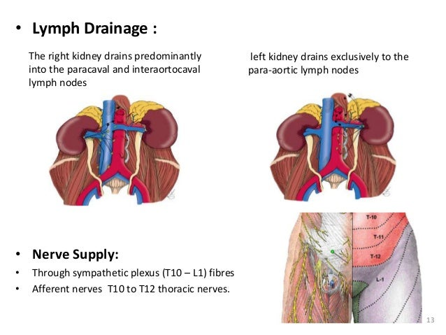 RENAL ANATOMY & RENAL CELL CANCERS - 웹