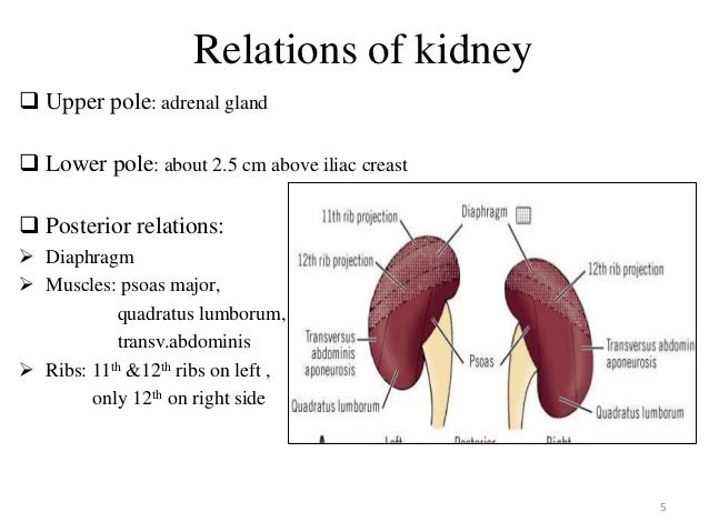 Renal Anatomy Renal Cell Cancers