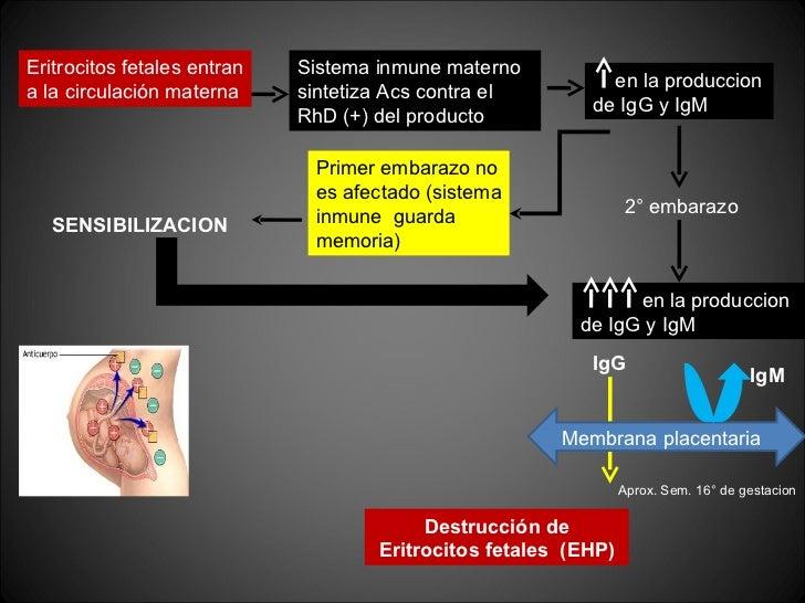 Eritrocitos fetales entran a la circulación materna Sistema inmune materno sintetiza Acs contra el RhD (+) del producto en...