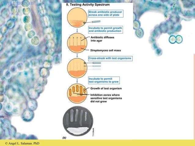 © Angel L. Salaman. PhD FIGURE 15.4B II. Testing Activity Spectrum Streak antibiotic producer across one side of plate Inc...