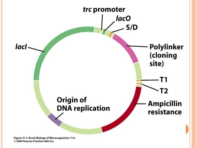  One can also use the amino acid sequence of a protein to design and synthesize an oligonucleotide probe that encodes it....