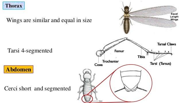 isoptera