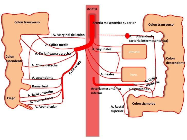Excepcional Arteria Mesentérica Superior Imágenes - Anatomía de Las ...