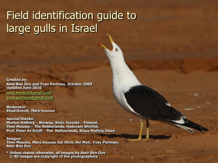 Field identification guide to large gulls in Israel    Created by: Amir Ben Dov and Yoav Perlman, October 2009 Updated Jun...