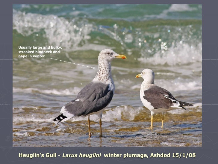 Part 2 - Updated 25.1.11 Israel large Ad Gulls of Israel Identification guide Slide 3