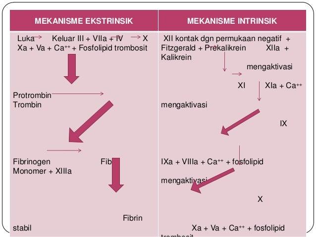 Pembekuan darah pembekuan darah pembentukan protrombin menjadi trombin pembentukan fibrinogen menjadi fibrin mekanisme intrinsik 19 ccuart Images