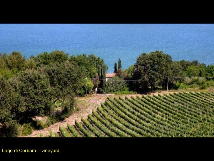 Lago di Corbara – vineyard