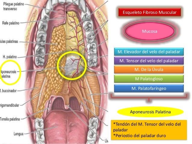 Itsmo y paladar blando (anatomía)