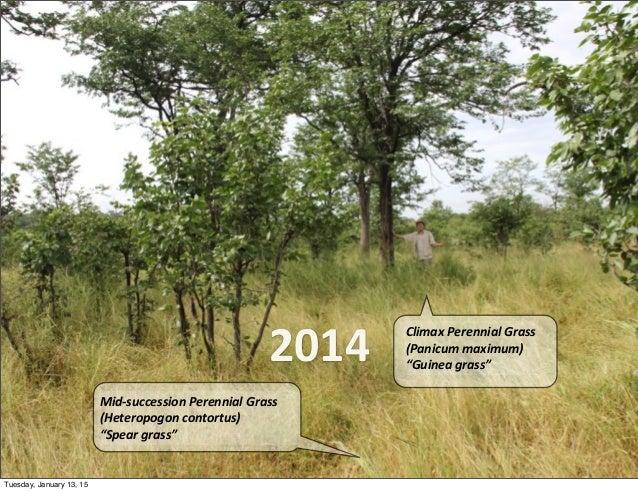 "2014 Climax  Perennial  Grass (Panicum  maximum) ""Guinea  grass"" Mid-‐succession  Perennial  Grass (Heteropog..."
