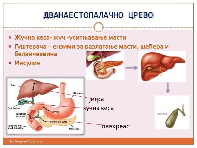 ДВАНАЕСТОПАЛАЧНО ЦРЕВО    јетра  жучна кеса  панкреас Ива Милојевић 7-2 2017.
