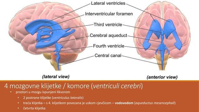 Kralješnična moždina (medulla spinalis) •smještena u kralješničnom kanalu gdje je pričvršćena zupčastim svezama •valjkasta...