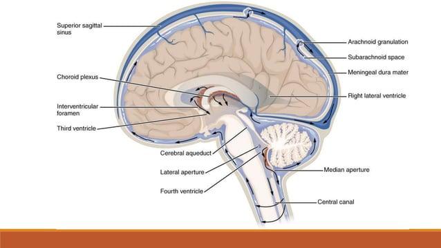 • korjeni moždinskih živaca su vlakna neurona koji se nalaze u sivoj kralješničnoj moždini, te oblikuju osjetne, motorne i...