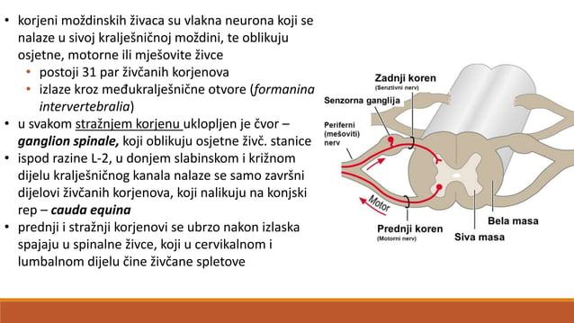 Mozgovno deblo (truncus encephali) •sačinjava ga: a) srednji mozak (mesencephalon) • povezuje most s međumozgom • sadrži j...