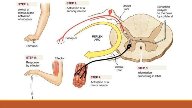 Veliki mozak (cerebrum) •smješten u lubanjskoj šupljini •površina velikog mozga je neravna  sastoji se od mozgovnih vijug...