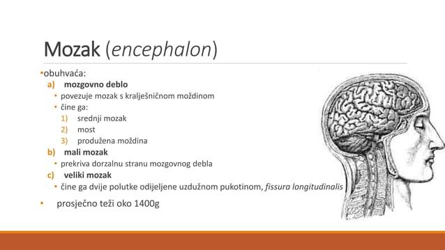 MOZGOVNA KORA (cortex cerebri) = siva tvar • sloj stanica koje su razmještene u šest redova • površina sive kore je brazda...
